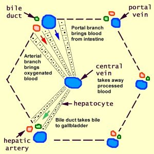 structure of hepatic loba