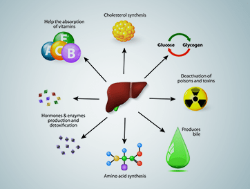Important Liver Functions